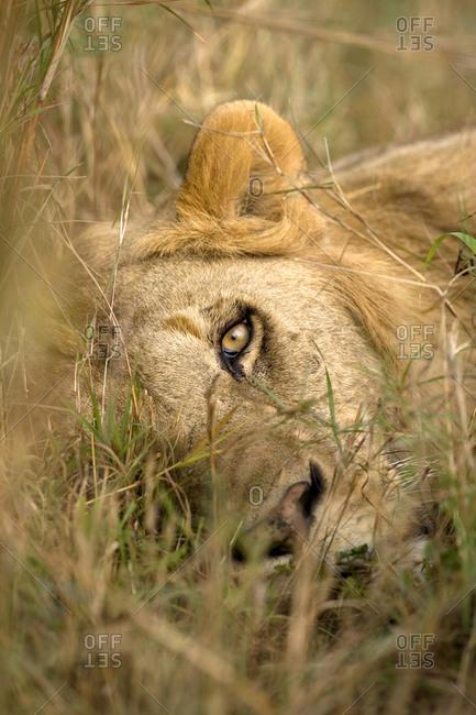Africa, Kenya, Masai Mara Game Reserve Male lion sleeping in grass, Kenya