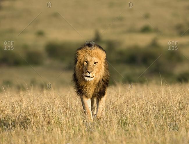 Male lion walking in dry grass
