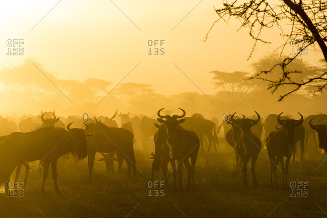 Herd of wildebeests silhouetted in golden dust made by the evening sun reflecting off the dust from their migration, Ngorongoro Conservation Area, Tanzania