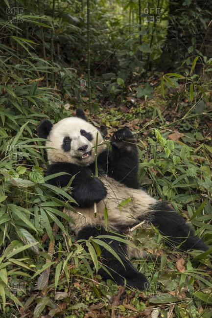 Young giant panda eating