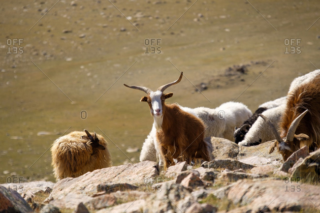 Western Mongolia Inner Mongolian Cashmere goat adapts well to desert and semi desert pastures