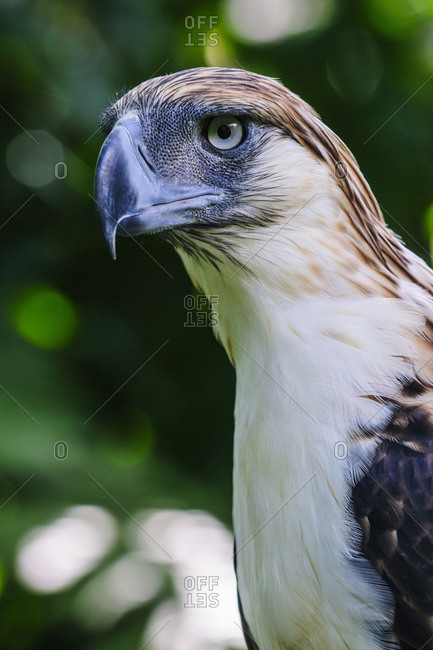 Philippine Eagle (Pithecophaga jefferyi), also known as the Monkey-eating Eagle, Davao, Mindanao, Philippines