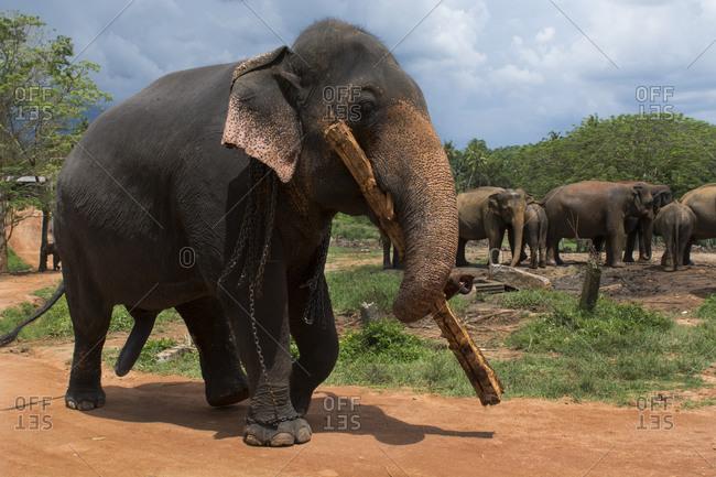 Pinnawela Elephant Orphanage, est in 1975 by the Wildlife Department Orphaned elephants working Indian elephants, Sri Lanka