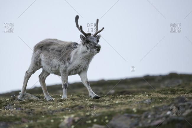 Svalbard reindeer (Rangifer tarandus platyrhynchus) a small subspecies of Rangifer tarandus on tundra