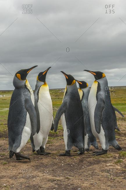 Falkland Islands, East Falkland, Volunteer Point King penguins in dominance display