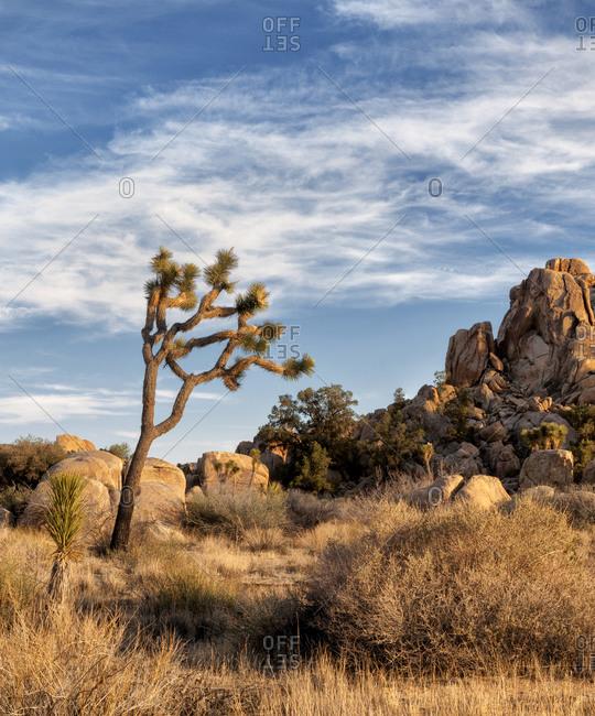 Joshua Tree National Park Joshua trees in Mojave Desert, California