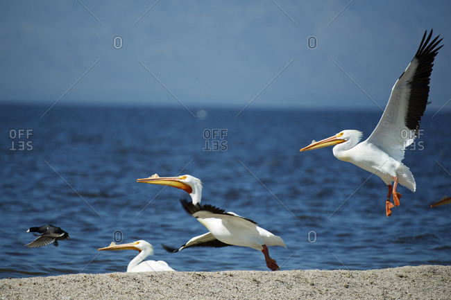 White pelicans (Pelecanus Erythrorhynchos) on the shore of the toxic and salty Salton Sea in California