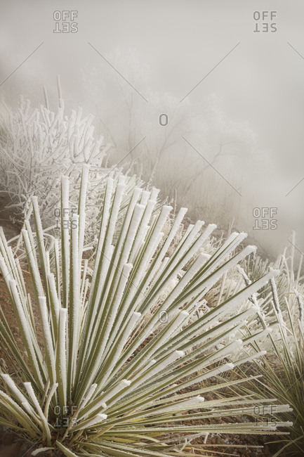 Pike National Forest Soapweed yucca covered in hoarfrost, Colorado