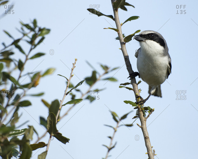 Loggerhead Shrike on lookout after feeding young, Lanius ludovicianus, Celery fields, Sarasota, Florida