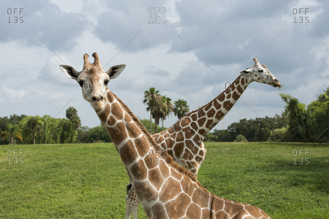 Two giraffes crossed, one looking at viewer and one with grass in mouth