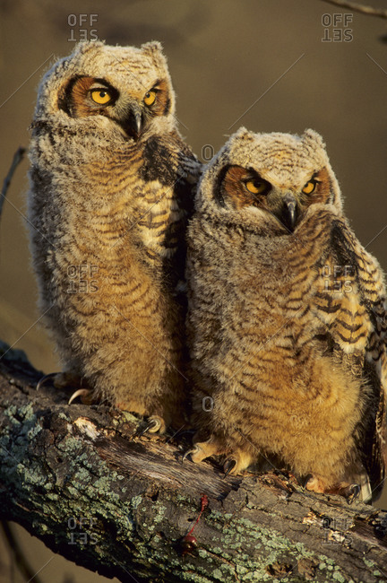 Great Horned Owls (Bubo Virginianus) approx 6 weeks old, Illinois