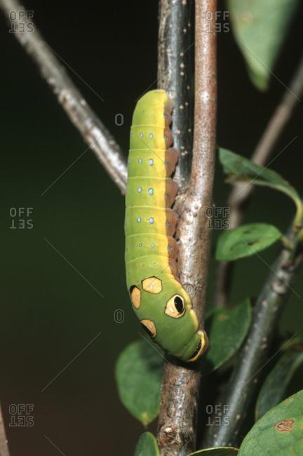Spicebush Swallowtail (Papilio Troilus) caterpillar on Spicebush (Benzoin aestivale) Marion County, Illinois
