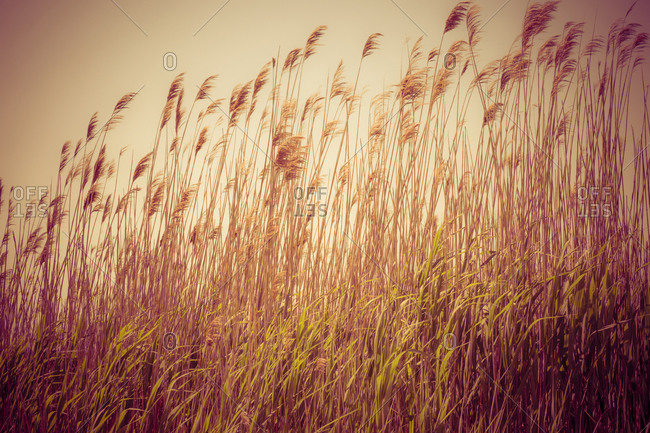 Beach grass waving in the wind, Fire Island, New York, USA