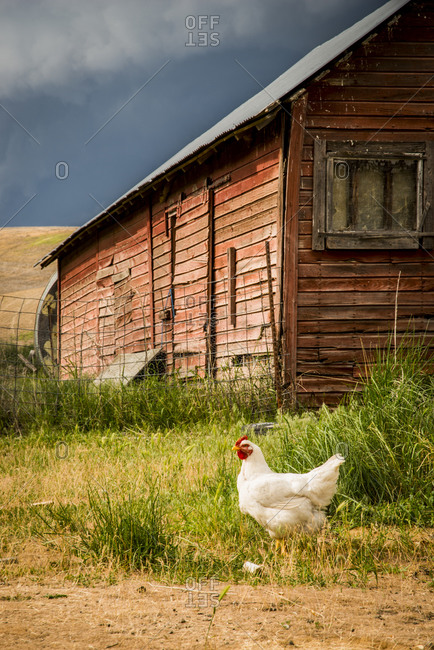 Pioneer Stock Farm, Dusty, approaching evening thunderstorm, chicken house and chickens