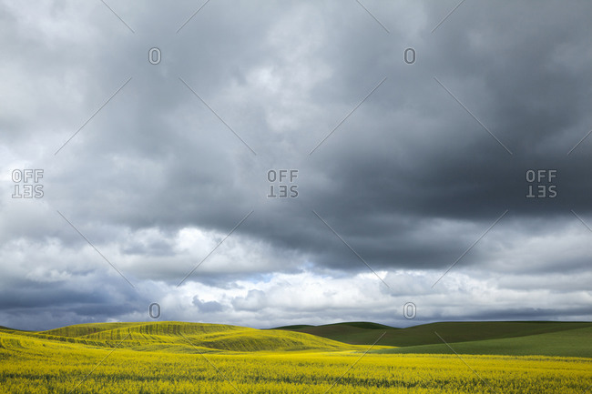 Blooming canola field on a stormy day