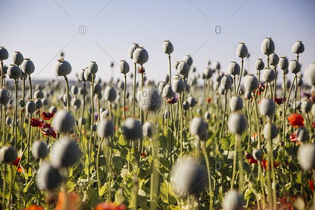 Poppy seed capsules field in Austria