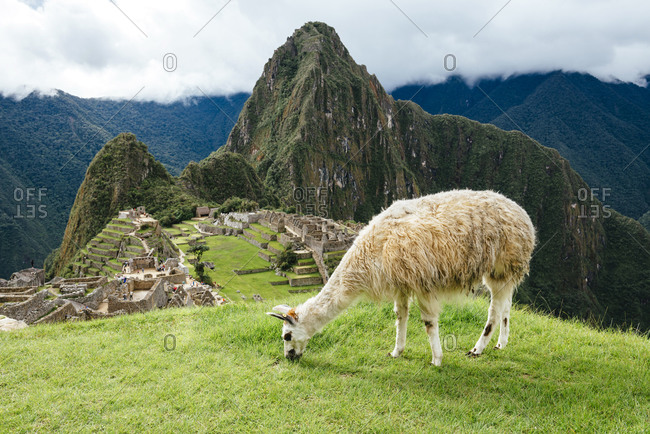 White llama eating grass with Machu Picchu citadel and Huayna Picchu mountain