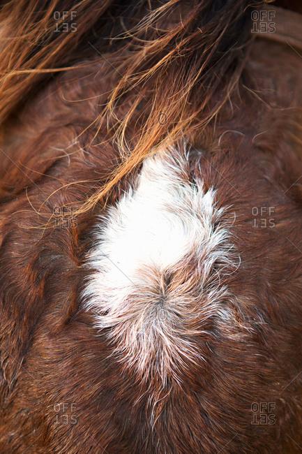 White spot in horse's fur
