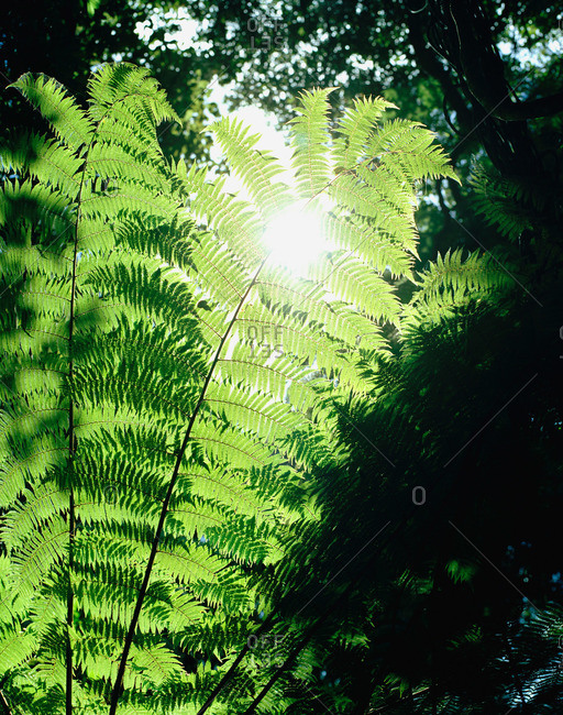 Leaves of a silver fern in the sunlight, Abel Tasman National Park, South Island, New Zealand