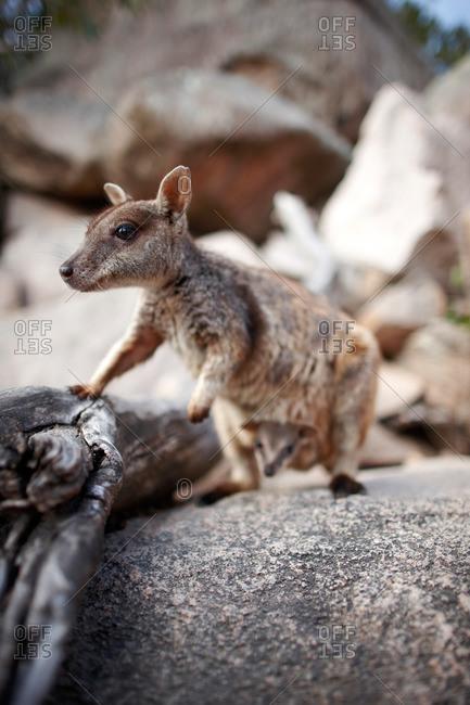 Rock-Wallaby with Baby, Arcadia, Geoffreys Bay, Magnetic island, Great Barrier Reef Marine Park, Queensland, Australia