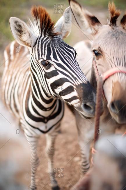 Zebra mule and zebra, Mallorca, Balearic Islands, Spain