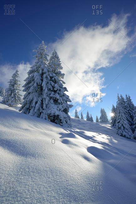 Snow-covered coniferous trees, Bavarian Alps, Upper Bavaria, Germany