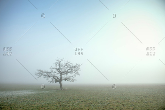 Single tree surrounded by mist and hoar frost during late autumn, near Schelklingen close to Blaubeuren, Schmiech valley, Swabian Alp, Baden-Wuerttemberg, Germany