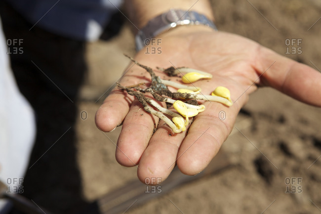 Close-up of farmer holding germinated soy plants