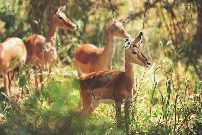 Deer in rural Tanzania