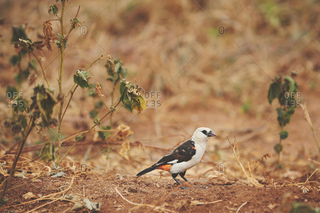 A bird in rural Tanzanian brush