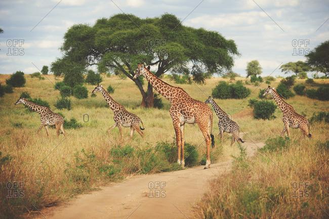 Giraffe crossing dirt road, Tanzania