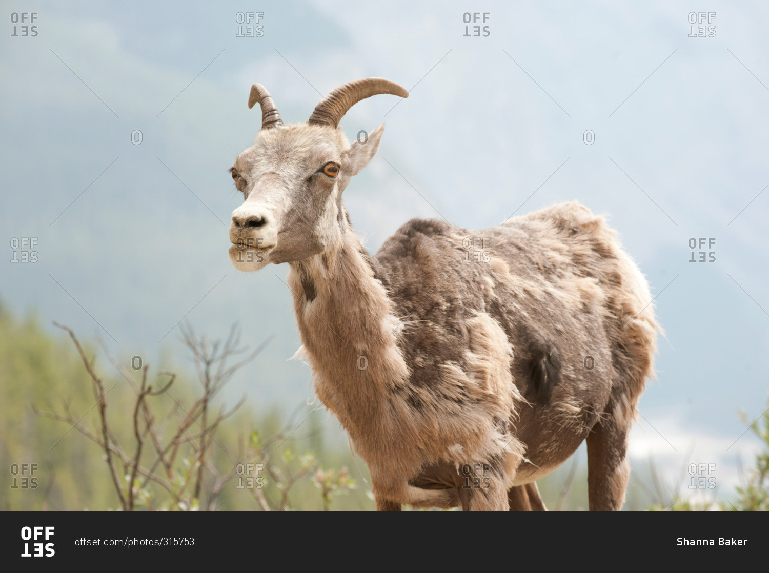 Wild Mountain Goat Shedding Its Fur
