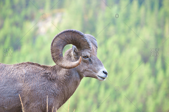 Wild mountain goat in a green mountain valley