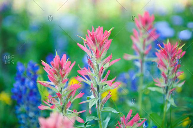Colorful wild lupin and paintbrush flowers in a field