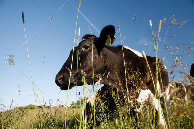 Cow grazing in a field, Sweden
