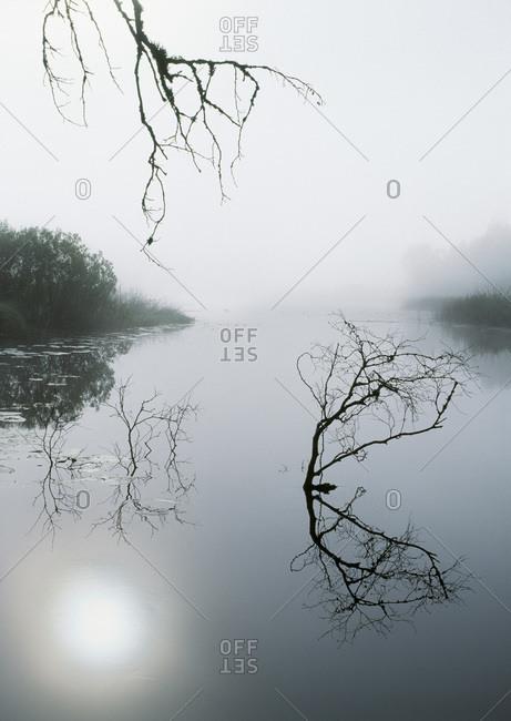 Bough over stream a misty morning, Vastergotland, Sweden