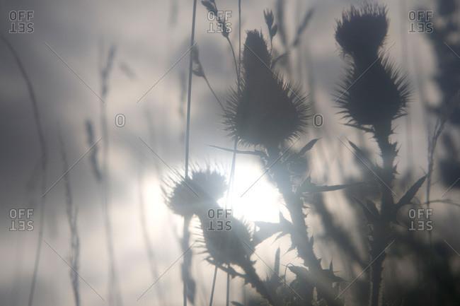 Plants against a hazy sunlight at dawn, Sverige