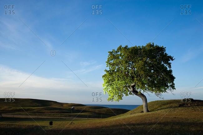 An oak-tree by the sea, Sweden