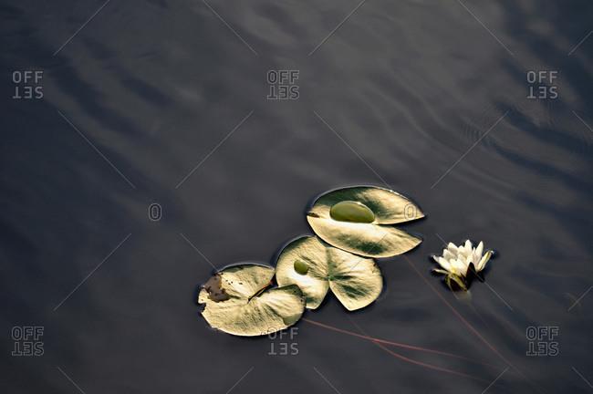 Water lilies against a dark background, Sweden