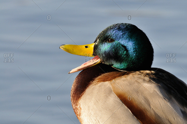 Close up on a duck