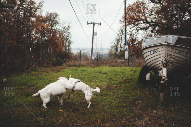 Two dogs playing in rural setting