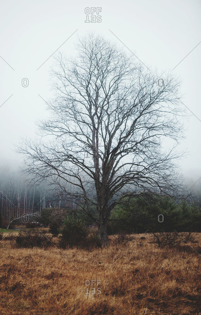 A bare tree in misty setting
