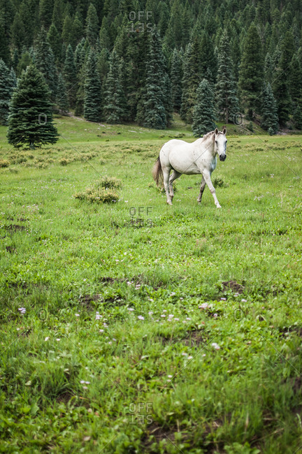 White horse walking through a green pasture