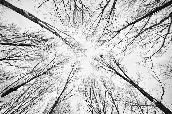 Worm's eye view of a stand of bare trees in rural Japan