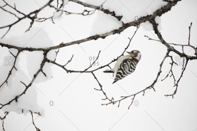 Japanese Pygmy Woodpecker lighting on a snowy branch