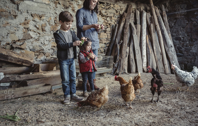 Woman and her children feeding hens with green grapes in a farm barnyard