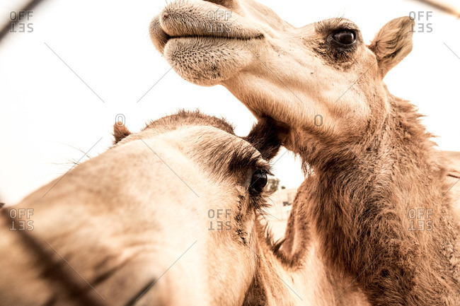 Close-up of camels behind fence, Dubai