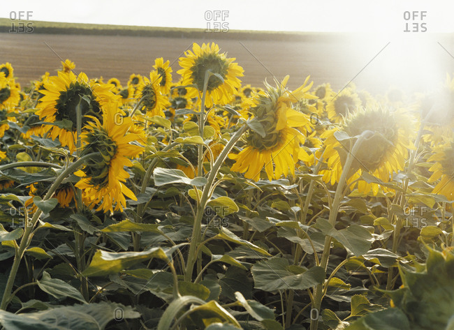 Sunflowers in a sunny field