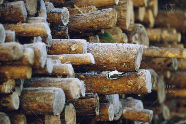 Woodpecker on cut log - Offset