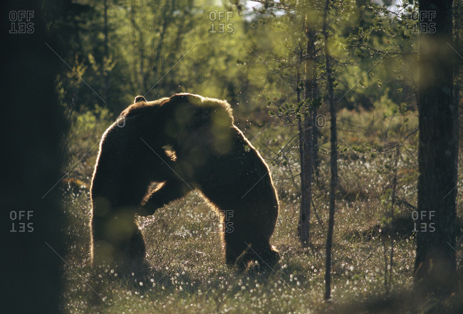 Bears fighting in forest